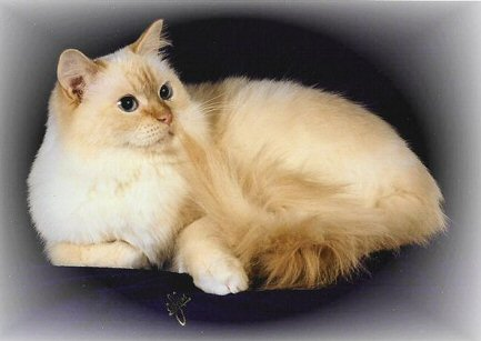 Red Point Ragdoll Red Point Mitted Ragdoll