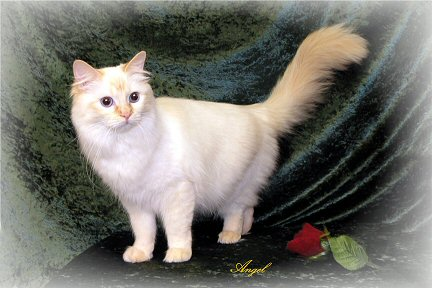 Red Point Ragdoll Red Point Ragdoll Cat