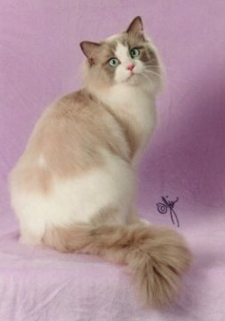 Lilac bicolour ragdoll cat